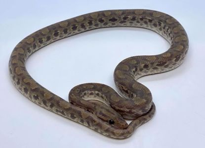 Picture of Ghost Columbian Rainbow Boa